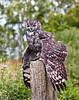 Eagle Owl at Over Lochridge Farm - 18 July 2020