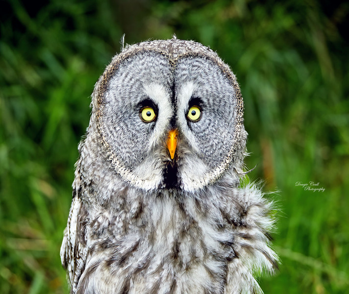 Great Grey Owl at Over Lochridge Farm - 18 July 2020