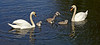 Swan Family at Murdieston Dam, Greenock - 31 May 2014