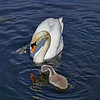 Swan and Cygnet at Murdieston Dam, Greenock - 31 May 2014