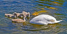 Swans and Cygnets - Murdieston Dam, Greenock - 2 June 2013