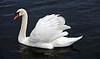 Swan in Cardwell Bay, Gourock - 1 February 2014