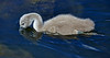 Cygnet at Murdieston Dam, Greenock - 31 May 2014