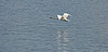 Swan off Greenock Esplanade - 29 June 2014