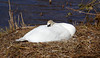 Nesting Swan - Murdieston Dam, Greenock - 9 April 2013
