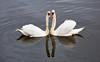Swans at Braehead - 17 May 2016
