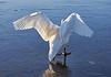 Swan Lake - Cornalees, Greenock - 29 December 2020