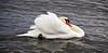 Swan at Gareloch - 25 February 2021