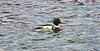 Red Breasted Merganser at Greenock - 17 February 2021