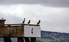 Cormorants at Loch Striven - 25 July 2020