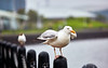 Seagull at Greenock - 5 August 2020