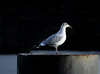 Seagull at Gourock - 2 November 2020