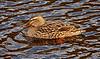 Duck at Greenock Cut - 4 March 2016