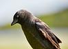 Jackdaw at Lochwinnoch Nature Reserve - 3 June 201