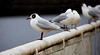 Seagulls in Govan Area of Glasgow - 27 February 2021