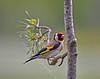 Goldfinch at Lochwinnoch Nature Reserve - 3 June 2015
