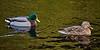 Ducks at Greenock Cut - 4 March 2016