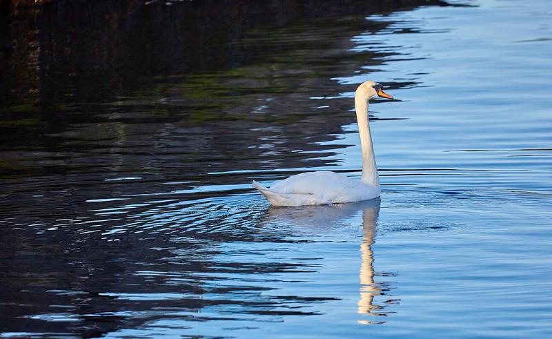 Single Swan at Port Glasgow - 6 October 2018