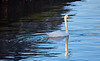 Single Swan at Port Glasgow - 6 October 2018