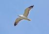 Solo Seagull - Murdieston Dam, Greenock - 8 April 2015