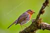 Robin at Lochwinnoch Nature Reserve - 3 June 2015