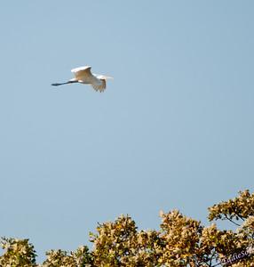 Wildlife - Birds Large - Egrets