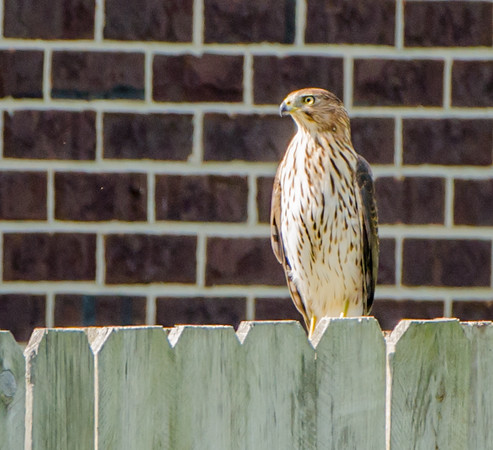 Cooper's Hawk from Champaign Illinois