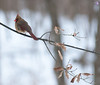 A female Cardinal just spotted me taking some pictures of her one snowy day on our lot.