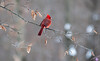 Our state bird the Cardinal taking a watchful rest.