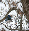 A Blue Jay with devious intentions on a snowy day on our lot.  Then again, don't they always have something devious on their minds?