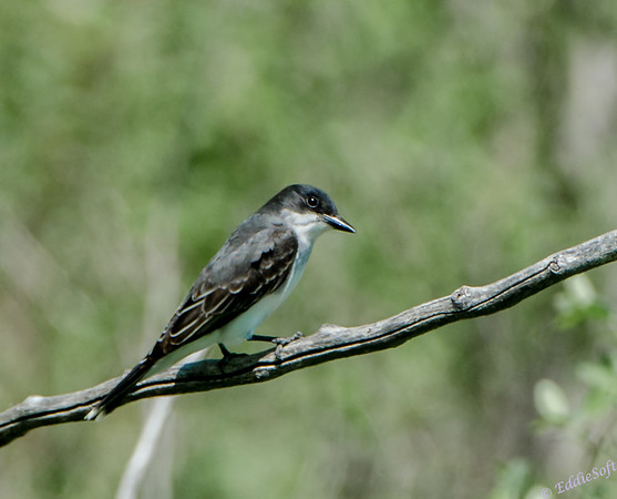 Eastern Kingbird shot at ICF in Baraboo Wisconsin - 3/2013