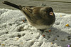 Pretty sure this is a Junco enjoying some feed left on our porch.