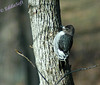 A juvenile Red Headed Woodpecker contemplating doing some serious damage to one of the trees on our lot.