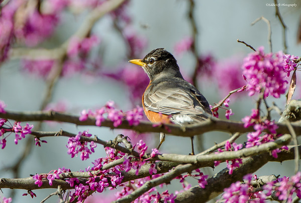 American Robin shot in Iowa in April 2017