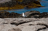 The pure white of this seagull really stood out in the light as it moved around the dullness of the rocky shoreline around Nubble Lighthouse at Cape Neddick Maine