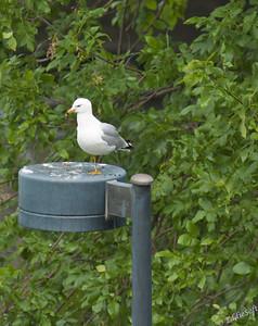 Wildlife-Birds Water -The Gulls