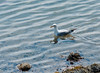 A seagull relaxing in the waters of Acadia National Park, Maine.