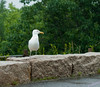 A seagull hanging out in the rain at Acadia National Park
