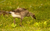 A baby Canadian Goose grazing alongside a small pond at Banner Marsh in Banner IL.