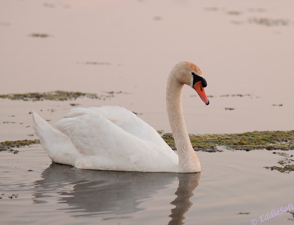 A swan enjoying the last light of the day at Banner Marsh in Banner IL.