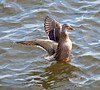 A female Mallard showing off to the males along the Mississippi in Davenport IA.