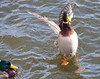 A Mallard trying to distinguish himself from the other males along the Mississippi River in Davenport IA.