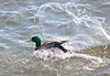 A Mallard makes a controlled landing in the Mississippi River in Davenport IA.  We were actually finishing up an Eagle shoot up the river, but decided to stop here to see who was out playing in the water.