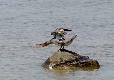 Wildlife  - Birds of the Water II
