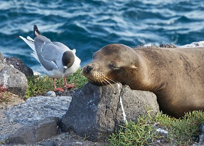 A Sea Lion watches over the nest with a Swallow Tailed Gull on South Plaza Island in the Galapagos Islands.