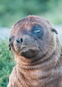 A Sea Lion Pup gives us a sad look on Puerto Suarez Island in the Galapagos Islands.
