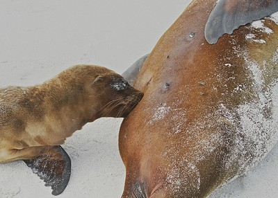 A Sea Lion Pup nursing in the Gardner Bay on Espanola Island in the Galapagos Islands.