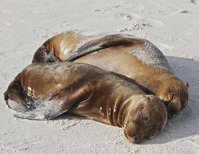 "Sea Lion Pups ""spooning"" in the Gardner Bay on Espanola Island in the Galapagos Islands."