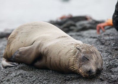 A Sea Lion Pup takes a nap along the Urbina Bay on Fernandina Island in the Galapagos Islands.