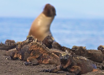 Marine Iguanas and a Sea Lion together on Isla Isabela in the Galapagos Islands.